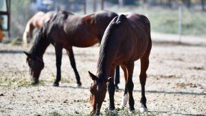 Faytonlardan Alınan Atlar, İzmir Doğal Yaşam Parkı'nda