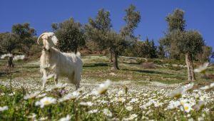 İzmir'de Koyun Yetiştiriciliğine Destek