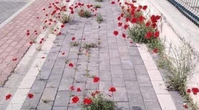 İnsanlar Çekildi, Gelincik Çiçekleri Doğum Gerçekleştirdi