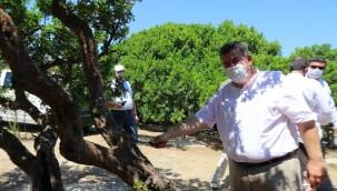 Çeşme'de Sakız Ağacı Üretimi Atağı
