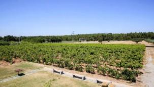 İzmir'de Üretilen Üzümler Sofralara Bereket Olacak
