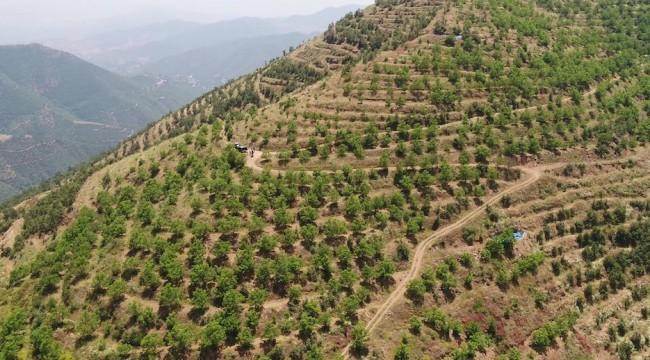 İzmir'in Dağlarına Gelir Sağlayan Ağaç Modeli