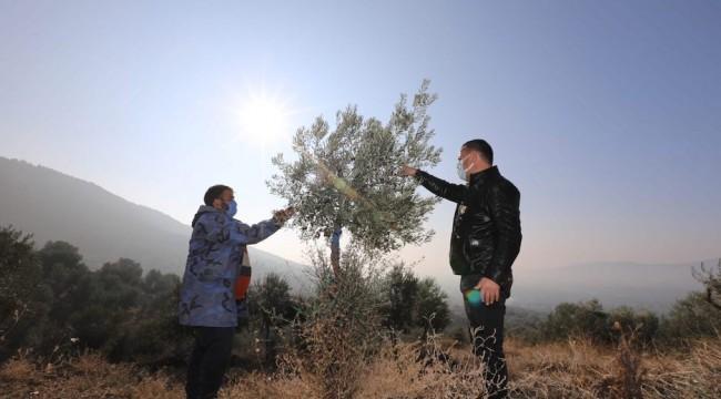 Yabani Zeytin Ağaçları Ekonomiye Kazandırılıyor