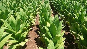 Ege Bölgesi'nde Virginia tütün üretimi başlıyor